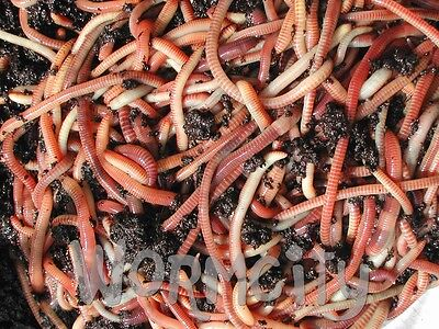 Dendrobaena Fishing Worms Compost Wormery Reptile Bait 50g-1 Kg Axolotl Wormcity • 13£