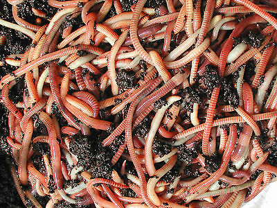 Tiger Composting Worms 50 G  For Fishing  Wormery  Wormeries  Reptiles Wormcity • 7£
