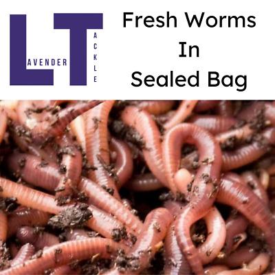 Live NEW Fresh Medium Size Dendrobaena Fishing Worms *All Quantities Available* • 3.50£
