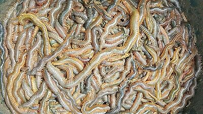 Ragworm 1lb Live Wild Ragworms Sea Fishing Bait Next Day By 1pm Fresh Ragworm  • 21£