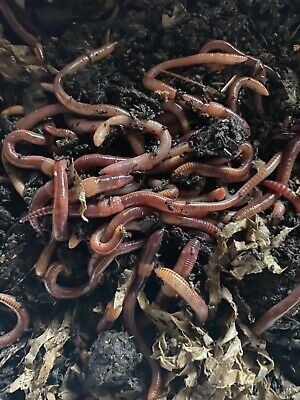 Tiger Worms, Compost Worms, Reptile Food Fishing Worms 100g • 8.50£