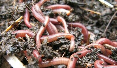 MEDIUM - LARGE COMPOSTING WORMS FOR WORMERY ADULT WORMS 25g To 500g • 12.49£