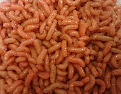 Fishing Bait Live Maggots-Pinkies 1/2 Pint Approx,Shipping Wed &Thur UK ONLY • 5.85£