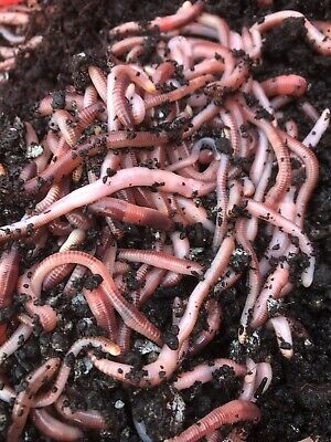 Dendrobaena Worms 200 Gms • 11.97£