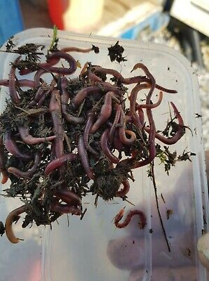 100grms Red Worms • 11£