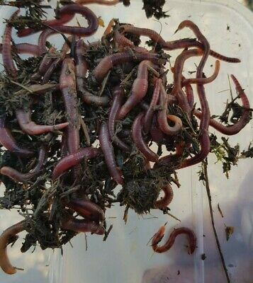 50grms Red Worms • 6£