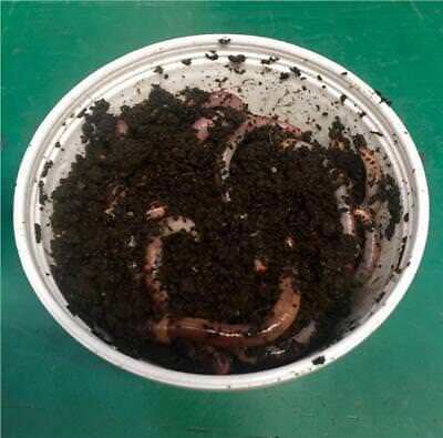 Tiger Organic Worms (50g Approx) Ideal For Composting And Fishing • 6.99£