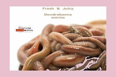 Dendrobaena Worms For Fishing, Fresh Live Bait, 50g-500g Grams Of Fishing Worms • 15.99£