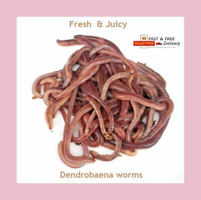Dendrobaena Fishing Worm - Reptile Food - Amphibian Food - Live Bait - 100 Grams • 6.20£