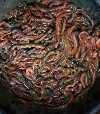 FRESH RAGWORM! 1/2 KG Order By 12pm For Next Day Delivery. 🎣🎣🎣🎣🎣🎣 • 21£