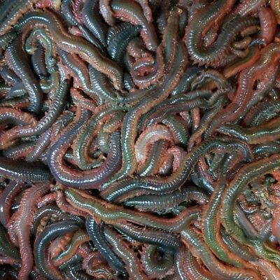 FRESH RAGWORM 1LB Order By 12pm For Next Day Delivery 🎣🎣🎣🎣    • 21£