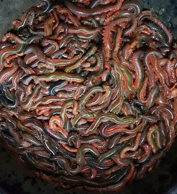 Contact Me Before Ordering!!!! May Not Have Any In Stock!!!  Fresh Ragworm 1kg🎣 • 35£