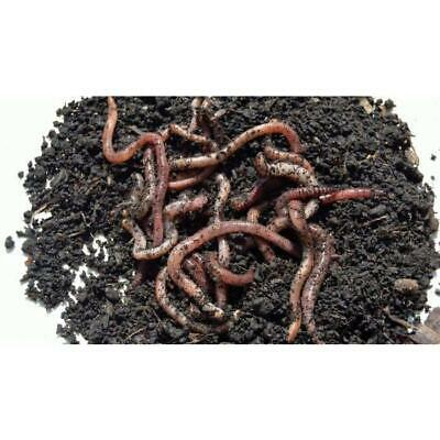 Tub Of Dendrobena Worms 70g • 4£