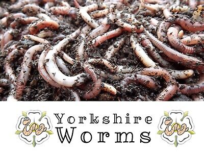 50g Dendrobaena Worms PRIME Compost Fishing Wormery Worms From 'YORKSHIRE-WORMS' • 5.99£