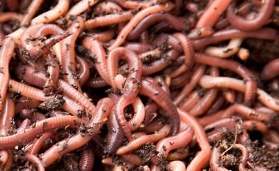 Fishing Worms Fresh Live Dendrobaena Dendras Pets Reptiles Composting 1kg 1000g • 22£