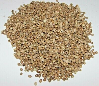 Extra Large (Giant) Hemp Seed - Top Quality  With Low Debris  - Carp Fishing • 21.50£