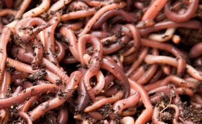 Fishing Worms Fresh Live Dendrobaena Dendras Reptiles Composting 1/2 Kg 500g • 15£
