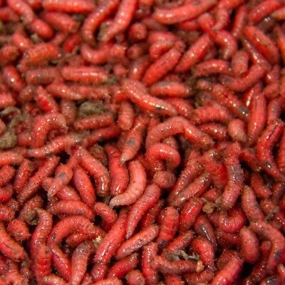 Fishing Bait Live Or Frozen Maggots Pinkies Squats 1 Pint Next Day Delivery • 12.99£