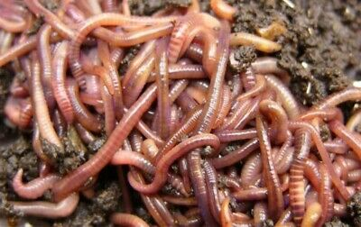 Fresh Red Worms. Live Bait For Fishing. 20 Worms Per Bag • 5£