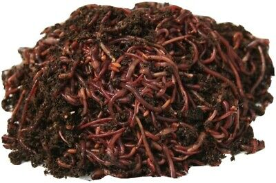 100 Live Earthworms Bait Reptile Live Food Pond Feed Perch Freshwater Fishing  • 25.10£