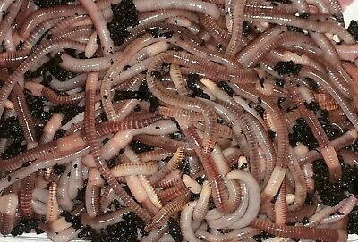 20% OFF EARTHWORMS - 200g. Live Bait Worms, Live Pet Feed, And Composting Worms. • 9.99£