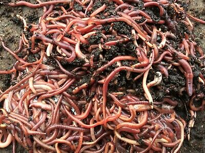 Fresh Red Worms. Live Bait For Fishing/Composting/Wormery/Reptiles-50g • 6£