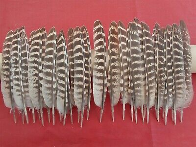 30 Hen Pheasant Wing Quill Feathers 6  - 7  - UK Sourced - 1st Class Postage  • 5.50£