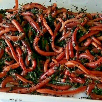 Mixed Size Organic Dendrobaena Worms. Fishing. Reptile Food Or Compost. 50g  • 5.50£